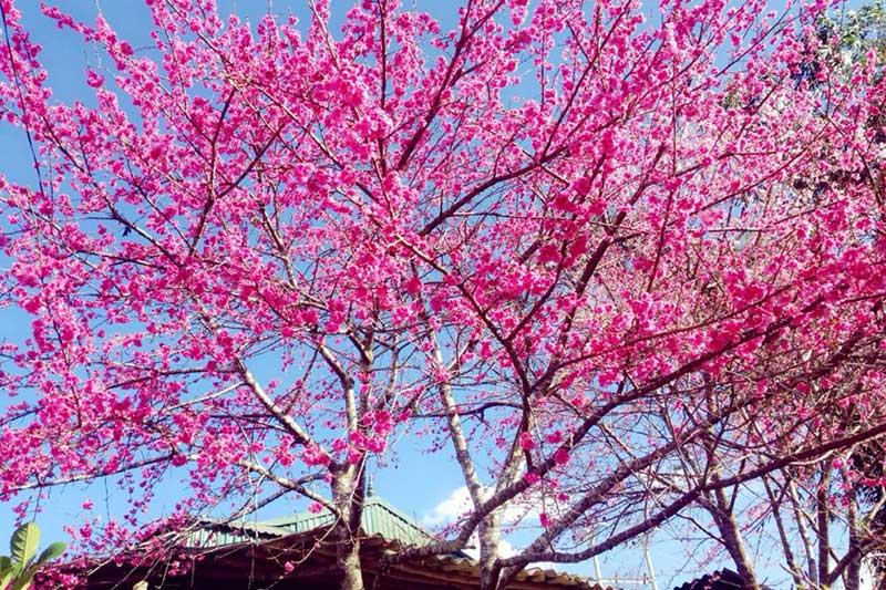 Vườn anh đào Mường Thanh