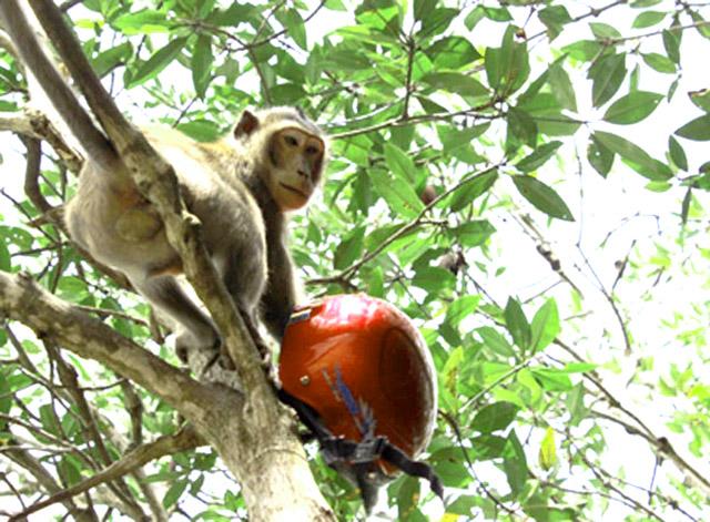 Chú khỉ lấy nón của khách rồi leo lên cây, tình huống đáng yêu mà du khách phải dỡ khóc dỡ cười