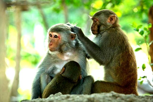 Hai cô chú khỉ có những hàng động y như con người