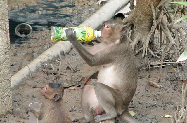 Chú khỉ xin nước uống của du khách, uống nước rất chi là chuyên nghiệp