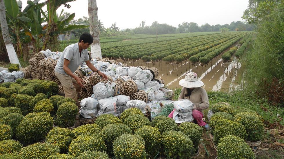 Người nông dân thu hoạch hoa chuẩn bị cho dịp Tết sắp đến