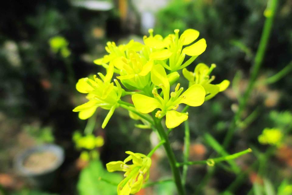 Hoa cải tại làng hoa Sa Đéc