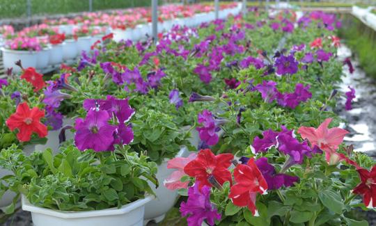 Hoa dạ thiên thảo của làng hoa Sa Đéc