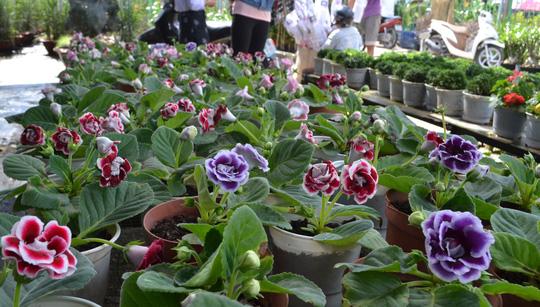 Hoa la lan tại làng hoa Sa Đéc
