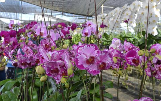 Hoa lan hồ điệp tại làng hoa Sa Đéc