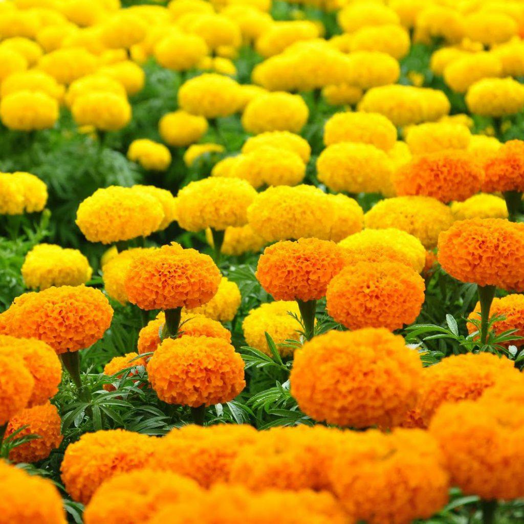 Hoa vạn thọ hai màu cam và vàng tại làng hoa Sa Đéc