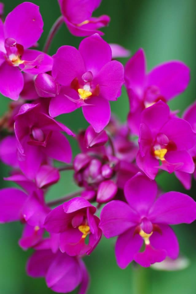 Hoa cau tím tại làng hoa Sa Đéc