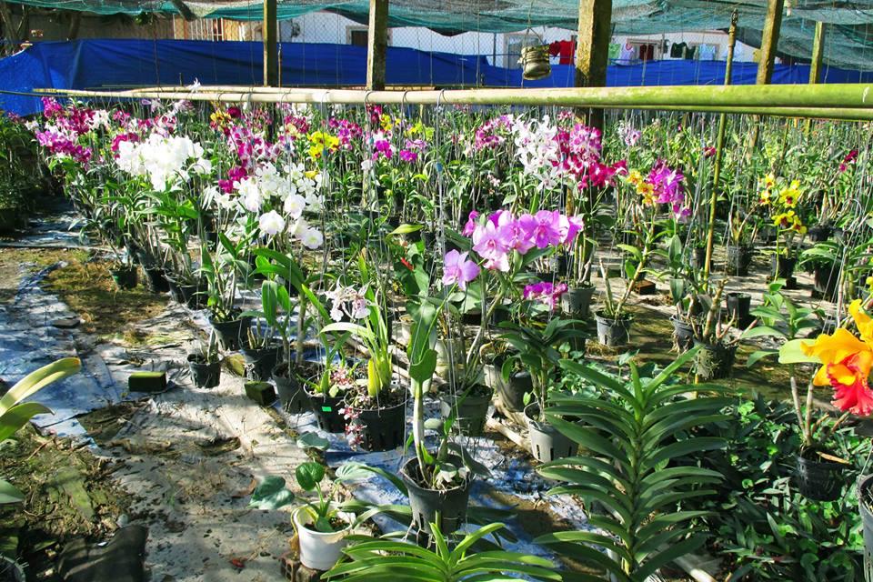 Vườn lan tại làng hoa Sa Đéc