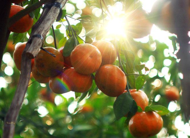 Những trái quýt chín mọng đu đưa trong nắng