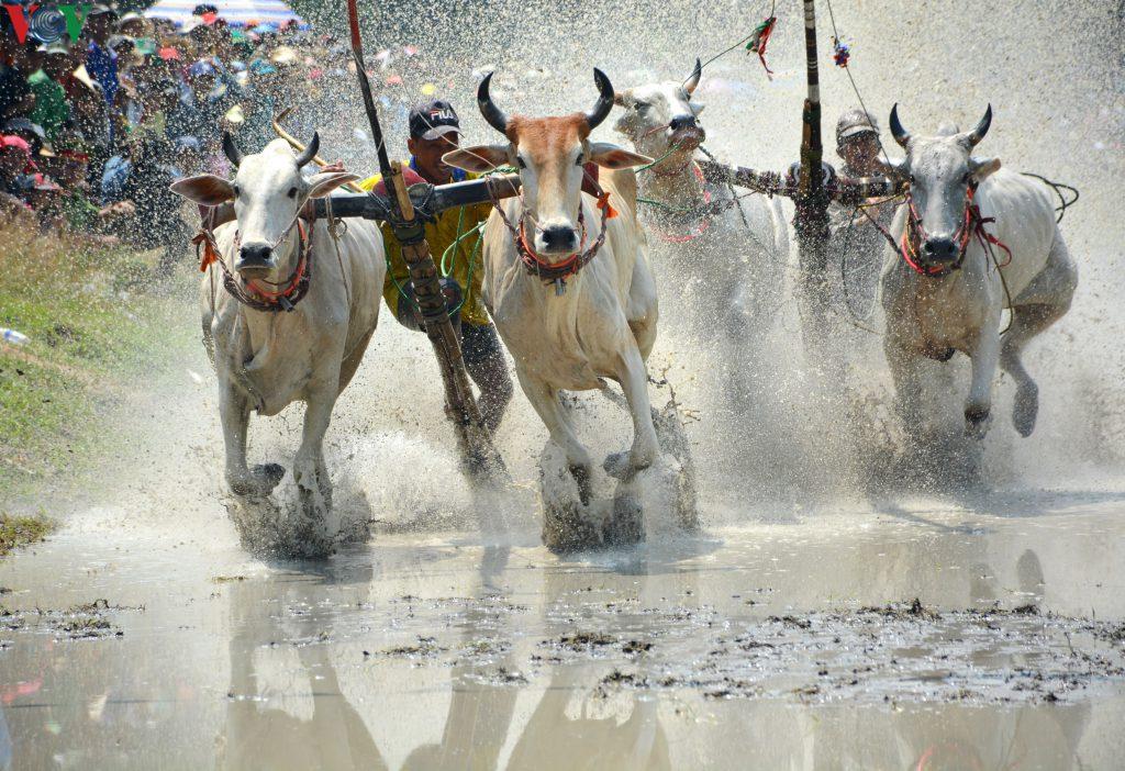 Lễ hội đua bò diễn ra vào tháng 8 âm lịch hàng năm.