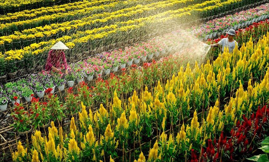 Hít đầy không khí vui tươi cùng làng hoa Tết miền tây thumbnail